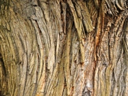 Sweet chestnut bark, Killerton