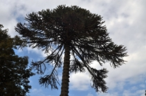 Monkey Puzzle, Tyntesfield